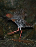 Crake, Red-Legged @ Botanic Garden
