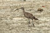 Curlew, Far Eastern @ Olango
