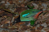 Pitta, Hooded @ Sime Forest