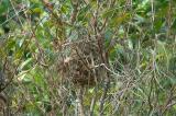 Munia, Scaly-breasted (nest) @ Pulau Ubin