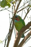 Barbet, Blue-Eared @ Tanjung Tuan