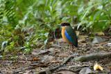 Pitta, Blue-winged @ Hemmant Trail