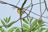 Shrike-Babbler, Black-eared (male) @ Jalan Richmond