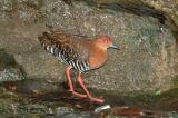 Crake, Red-Legged @ Botanic Gardens