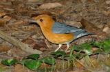 Thrush, Orange-headed @ Botanic Gardens
