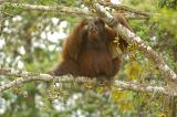 Bornean Orangutan (adult male) @ Kinabatangan River