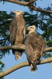 Eagle, White-bellied Sea (juveniles) @ Choa Khu Kang