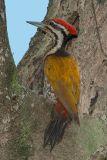 Goldenback, Common (male) @ Sungei Buloh