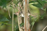 Tailorbird, Rufous-tailed