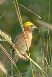 Weaver, Baya (male)
