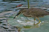 Heron, Striated (juvenile)