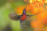 Sunbird, Purple-throated (male) @ Lower Peirce