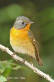 Flycatcher, Mugimaki