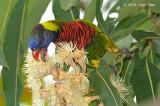 Lorikeet, Coconut @ Botanic Gardens