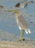 Heron, Chinese Pond @ Lor Halus