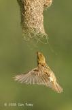 Weaver, Baya (female) @ Murai Farmway