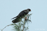 Falcon, Amur (female) @ Changi