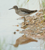 Sandpiper, Wood @ Changi