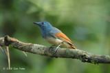 Philentoma, Rufuos-winged (male)