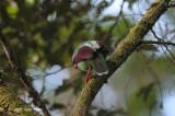 Magpie, Bornean Green @ Mt. Kinabalu