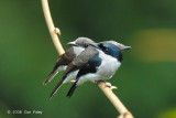 Shrike, Black-winged Flycatcher @ Sepilok