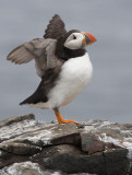 BIRDS (AND SEALS) of the FARNES