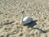 A swan catching a few rays