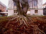 Gnarly tree on Staten Island