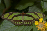 Scarce Bamboo Page Butterfly