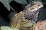 Thai Water Dragon Lizard