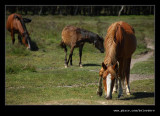 New Forest Ponies #2, Hampshire