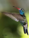 Broad-billed Humminbird.jpg
