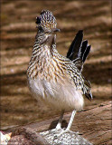 Greater Roadrunner.jpg