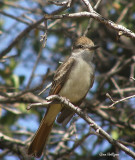 Ash-Throated Flycatcher.jpg