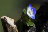 wild pansy flower