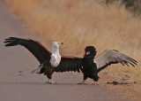 African fish-eagle and bateleur
