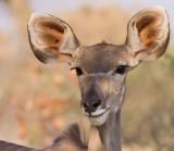 Kudu (female)