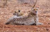Cheetah brothers II