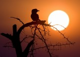 Sunset_lilacbreasted roller