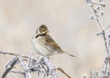Reed bunting(M)