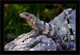 Del Rey Iguana Two