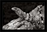 Del Rey Iguana Two  (BW 2)