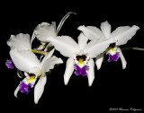 Laelia anceps 'Galina and Oleg' AM/AOS