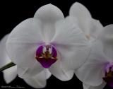 Doritaenopsis Mount Lip 'Brewton' HCC/AOS