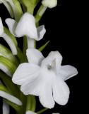 Ponerochis graminifolia 'Mello Spirit' CHM/AOS