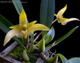 unknown Bulbophyllum