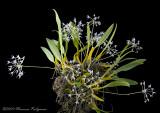 Bulbophyllum laxifolium celebensis