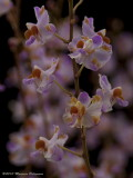 Doritis pulcherrima var. champornensis 'Memoria Wanda Mckovich' AM/AOS