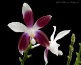 Phalaenopsis speciosa var. christiana 'Magnifico' AM/AOS