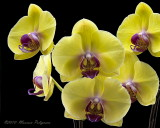 Doritaenopsis Fushen's Golden Age 'New Orchids' HCC/AOS